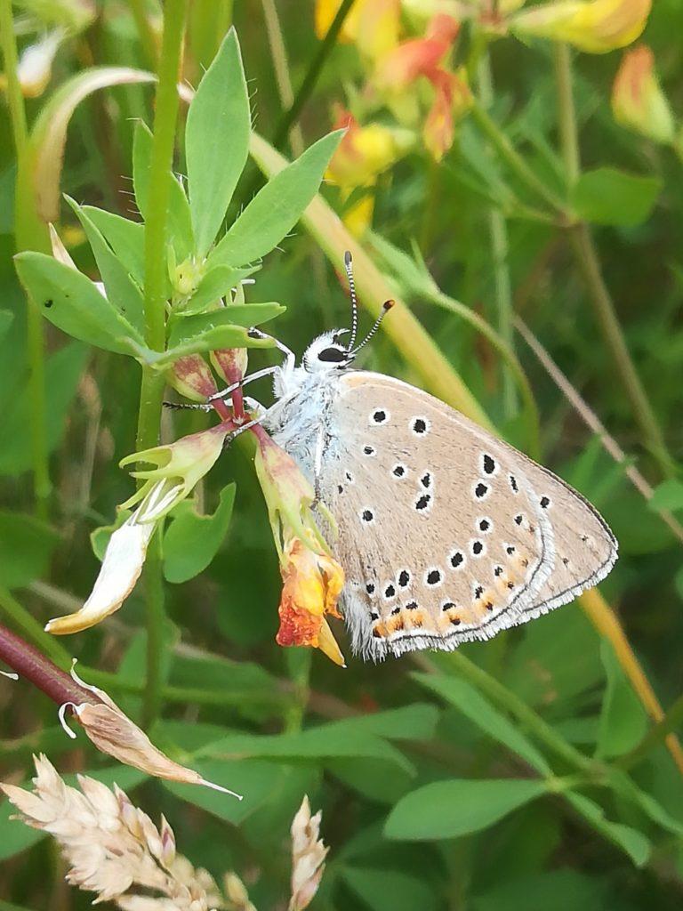 Violetrandet ildfugl (Lycaena hippothoe) han på Almindelig Kællingetand (Lotus corniculatus) på Flyvestation Værløse.
