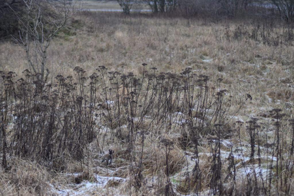 Vissen Rejfan (Tanacetum vulgare) på Flyvestation Værløse. Naturen er nu også meget smuk om vinteren.